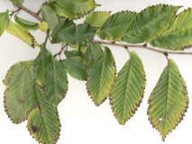 Accolade Elm twig & leaves