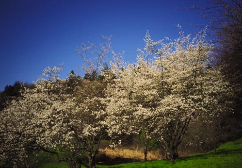 Juneberry, Serviceberry, Snowy Mespilus - Barcham Trees   346x499