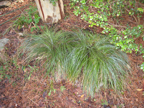 Beargrass before dividing photo