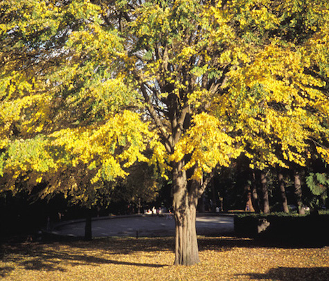 Katsura tree in fall color