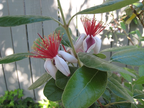 Pineapple Guava blossom