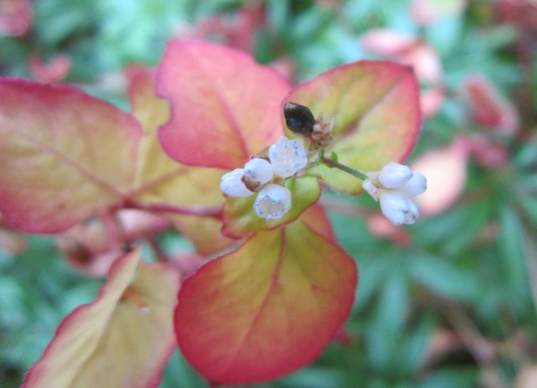 Kunming Knotweed flowers and seed