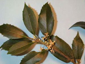 Osmanthus photo