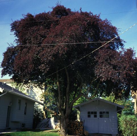 Article Purpleleaf Plum Trees By Arthur Lee Jacobson