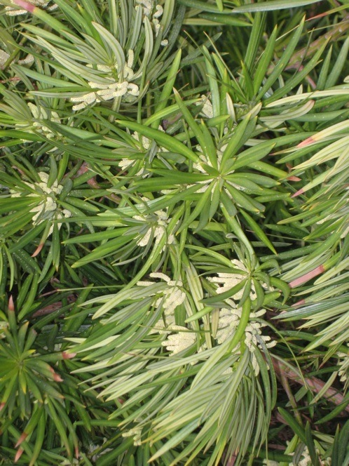 Podocarpus macrophyllus male flowers