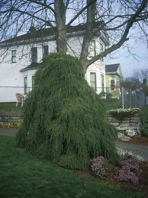 Weeping hemlock over 8 feet tall