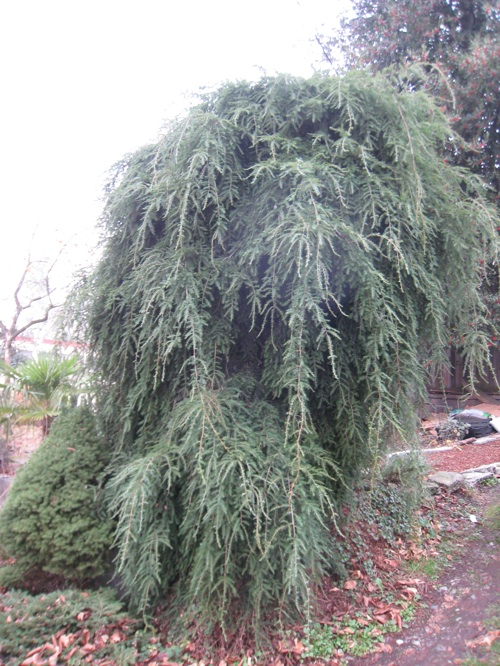 Weeping hemlock over 10 feet tall