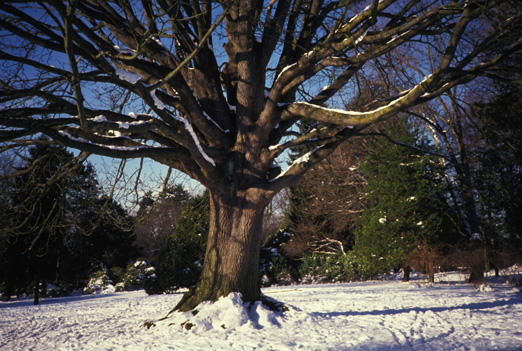 Volunteer Park bigleaf maple in snow