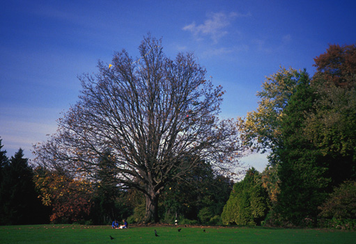 Volunteer Park Bigleaf Maple