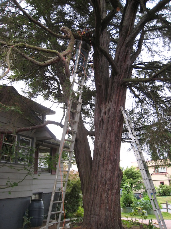 Mercer Island's largest Pacific Yew tree