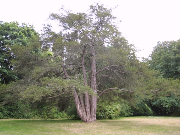 Seattle's largest Pacific Yew tree