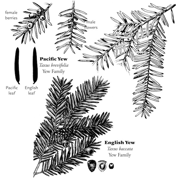 yew sketches from page 55 of <i>Wild Plants of Greater Seattle</i>