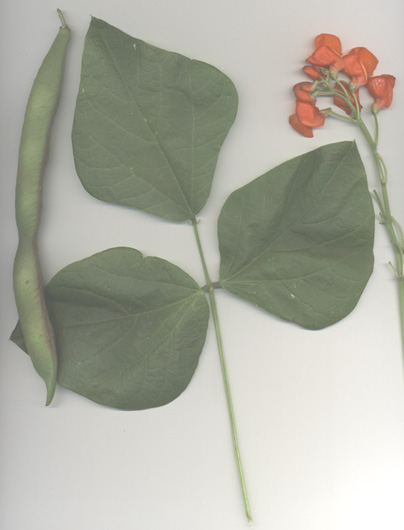 Scarlet Runner Bean scan