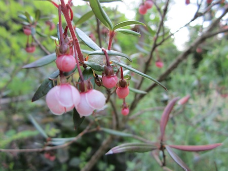 slender-leaf Chilean guava flowers