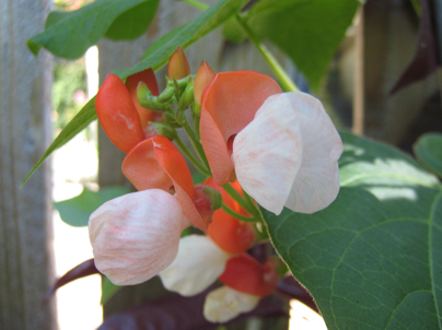 'Painted Lady' Scarlet Runner Bean photo