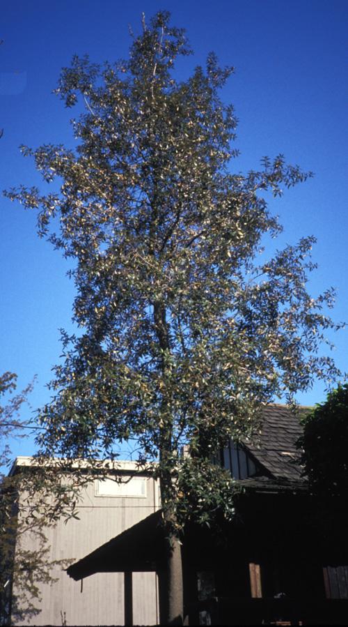 Silverleaf oak Silverleaf com